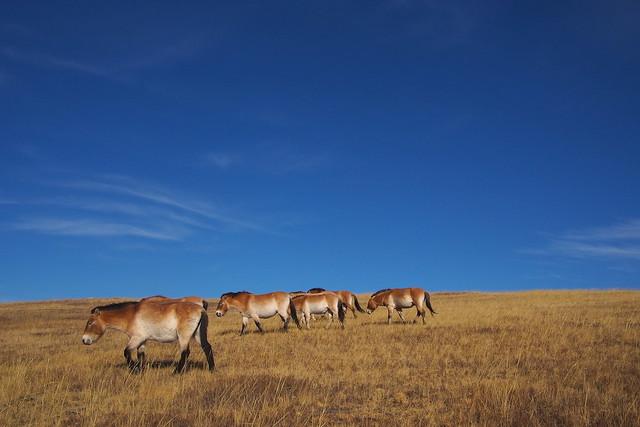 Takhi, Przewalski's horses, wild horses, Hustai National Park, Ulaanbaatar, Mongolia