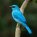 Verditer Flycatcher by joisbc