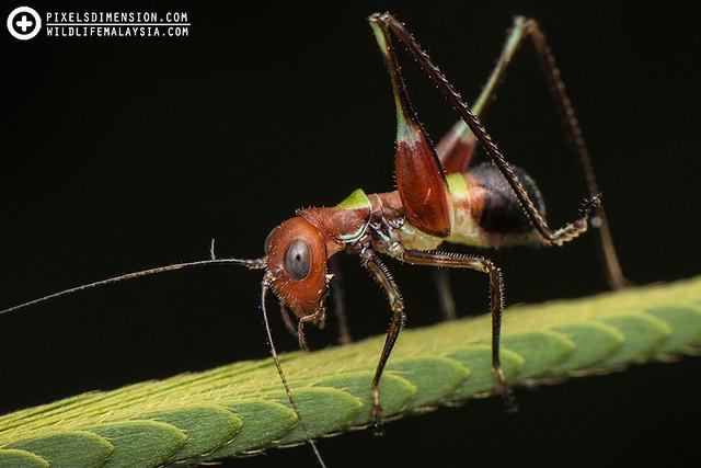 Ant-mimicking Katydid