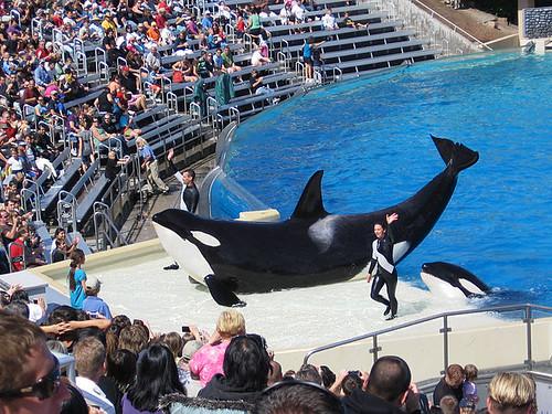 加州虎鯨表演。圖片來源:Leon7