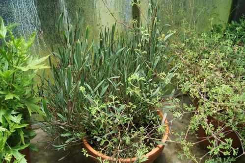P. laevigatum subsp. diversifolium and P. trifidum (right)