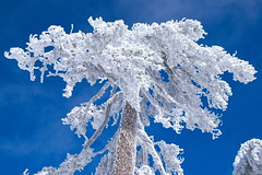 A tree in Troodos covered with rime