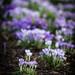 Kew Crocuses by tonybill