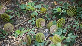 Люцерна округлая / Button clover / Medicago orbicularis / Scheiben-Schneckenklee