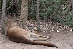 Kangaroo sleeping