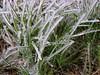 Ice coated grass, San Angelo