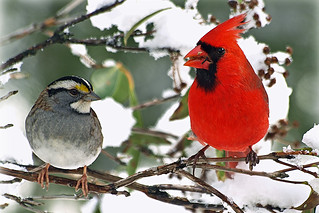 white throat and cardinal