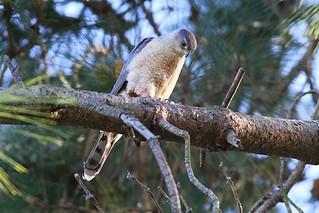 IMG_6140 Cooper's Hawk