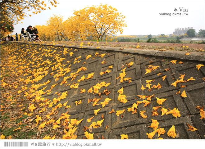 【嘉義景點】嘉義軍輝橋黃金風鈴木~全台最美的堤防!開滿滿的風鈴木美炸了!28