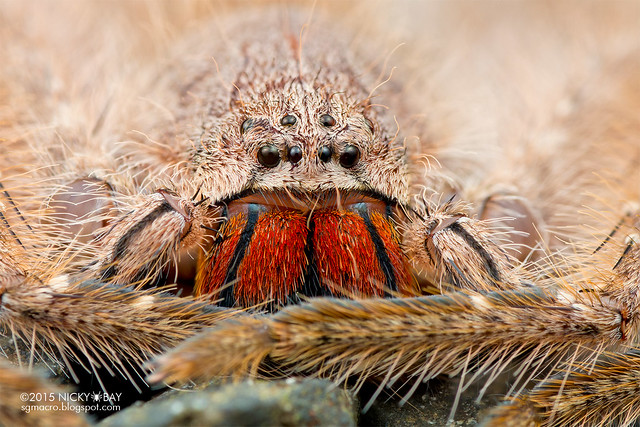 Huntsman spider (Heteropoda sp.) - DSC_4431