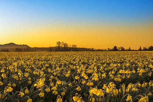 D810 Daffodils 4000
