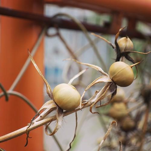 朝顔の種だよね、これって。 #都電pw2015