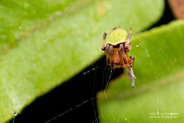 Orb web spider (Neoscona sp.) - DSC_2841