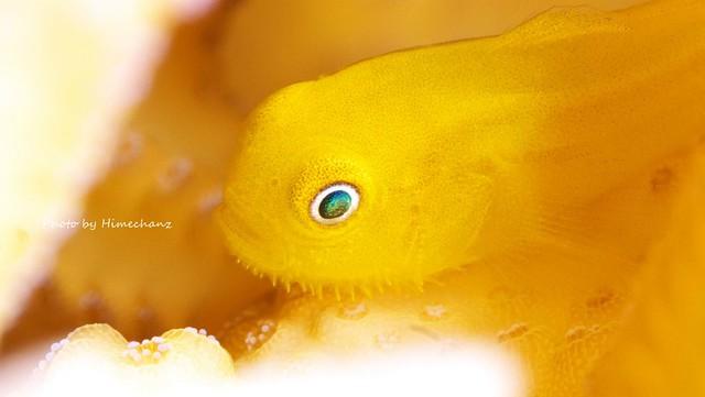 アカネダルマハゼ幼魚♪