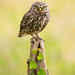 Little Owl by Lyle McCalmont