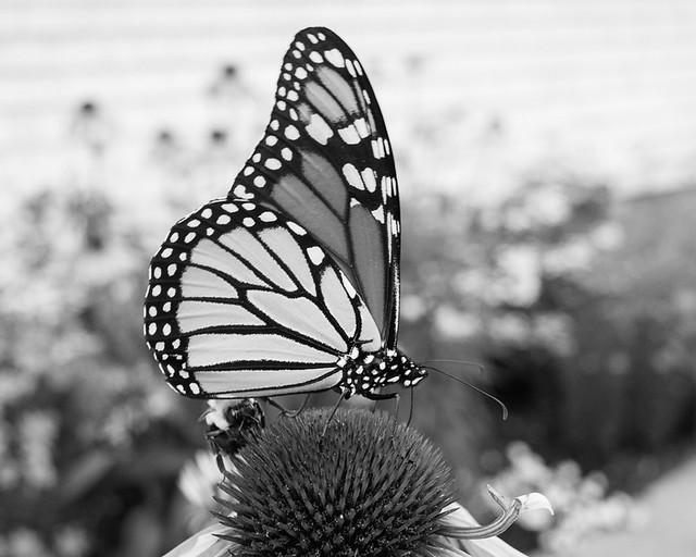 Monarch & Friend