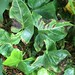 Small photo of Syngonium: Bacterial leaf blight