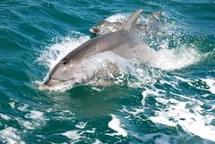 great white shark(0.0), lamniformes(0.0), requiem shark(0.0), animal(1.0), marine mammal(1.0), fish(1.0), shark(1.0), sea(1.0), ocean(1.0), common bottlenose dolphin(1.0), marine biology(1.0), short-beaked common dolphin(1.0), dolphin(1.0), striped dolphin(1.0), spinner dolphin(1.0),