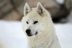 dog breed, animal, canis lupus tundrarum, west siberian laika, dog, hokkaido, czechoslovakian wolfdog, gray wolf, eurasier, norwegian buhund, canadian eskimo dog, east siberian laika, berger blanc suisse, greenland dog, kishu, northern inuit dog, korean jindo dog, wolfdog, carnivoran,