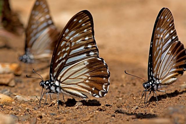 Graphium macareus - the Lesser Zebra