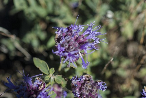 california blue plant flower purple wildflower lamiaceae modoccounty summittrail lamiales monardella southwarnerrange