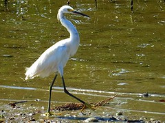 wetland, animal, nature, fauna, little blue heron, great egret, heron, pelecaniformes, beak, bird, wildlife,