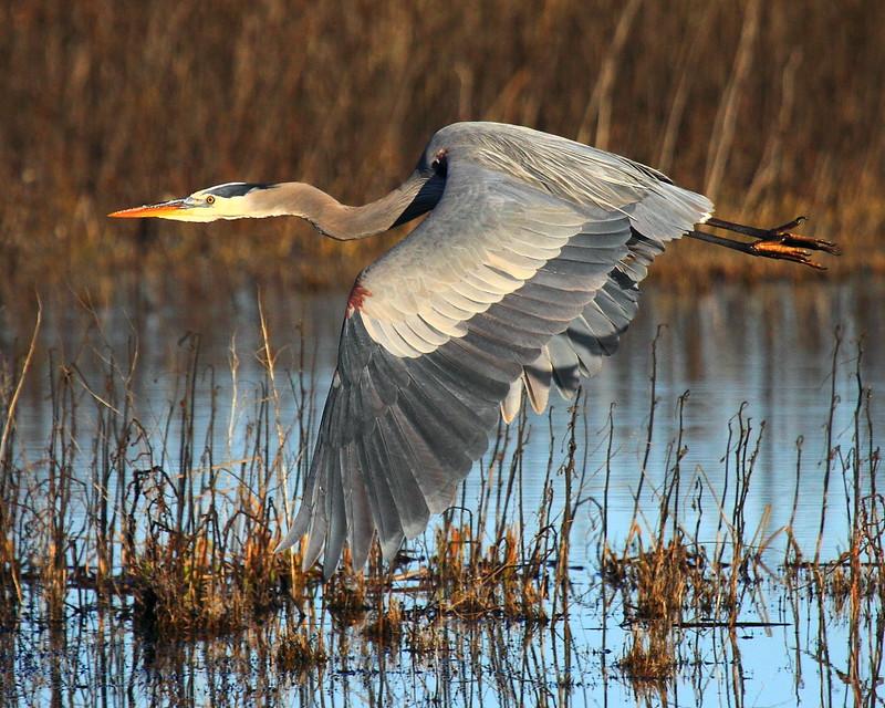 IMG_5613 Great Blue Heron