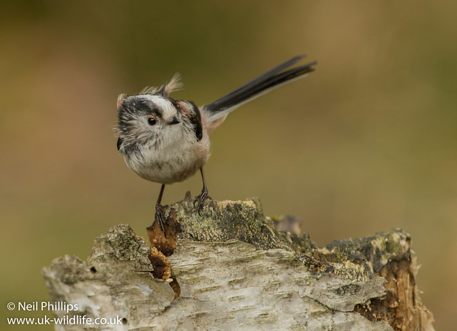 Long tailed tit 2-5