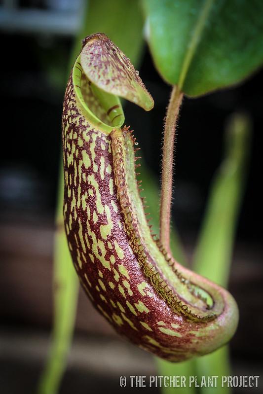 Nepenthes spectabilis x platychila