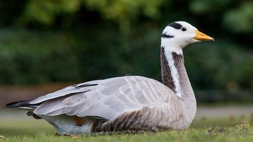 Bar-headed Goose (Anser indicus)-1226.jpg