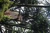 tree damage bunya pine uniting church daylesford_9936