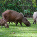Capivara/Capybara
