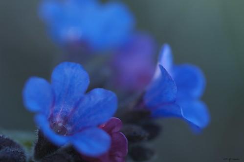 Printemps fleur bleue