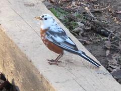 Leucistic Robin