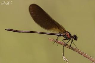 """Libelinha"", Copper demoiselle (Calopteryx haemorrhoidalis) - em Liberdade [WildLife]"