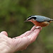 Trusting Red-breasted Nuthatch by annkelliott