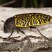 Stigmodera macularia by terraincognita96