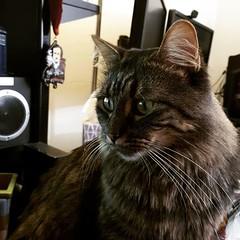 My desk guardian on Mondays. #MondayMotivation #LynxTheCat