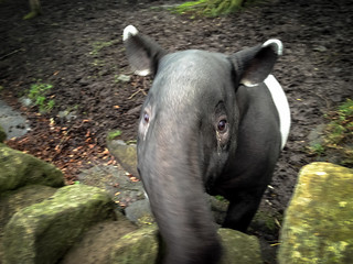 Malayan Tapir, Edinburgh Zoo | by Andy Hay