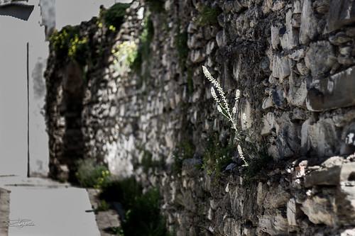 Planta en la muralla