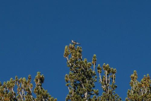 california bird aves nutcracker clarksnutcracker passeriformes corvidae nucifragacolumbiana modoccounty nucifraga pattersonlake southwarnerrange
