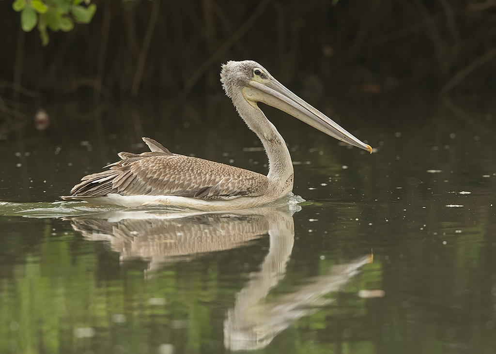 Pink-backed Pelican   Gambia