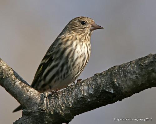 birds virginia unitedstates danville pinesiskin siskin carduelispinus