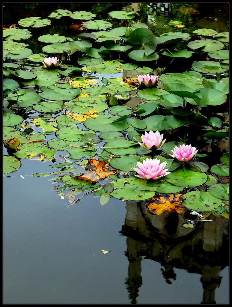 Un estanque con nenúfares