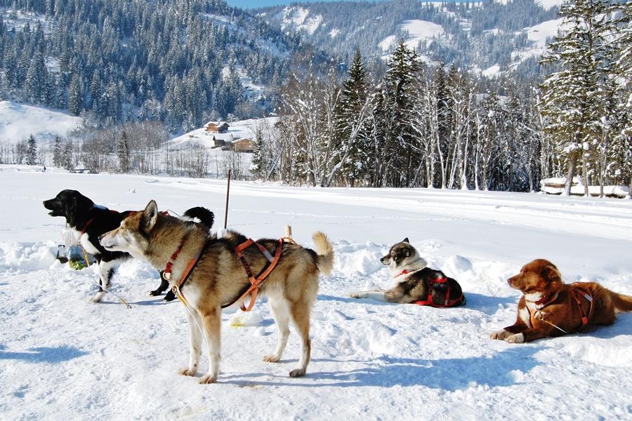 Balade chiens de traineau chiens de traineau (2)