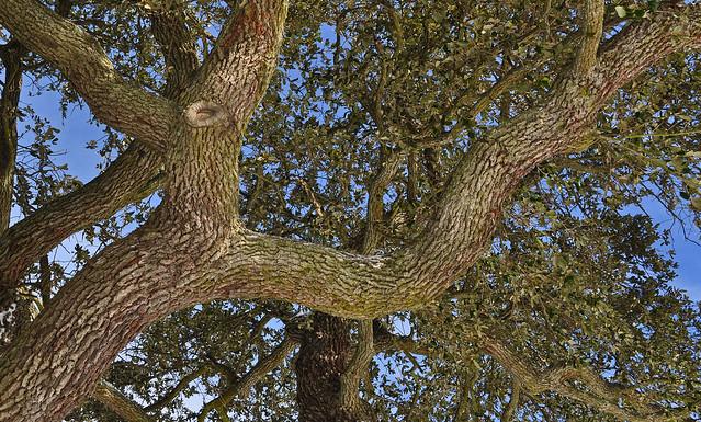 Live Oak (2)