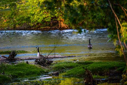 birds geese kentucky canadiangeese campsite frankfortkentucky elkhorncreek pamschreckcom photographerpamelaschreckengost elkhorncampground ©pamelaschreckengost