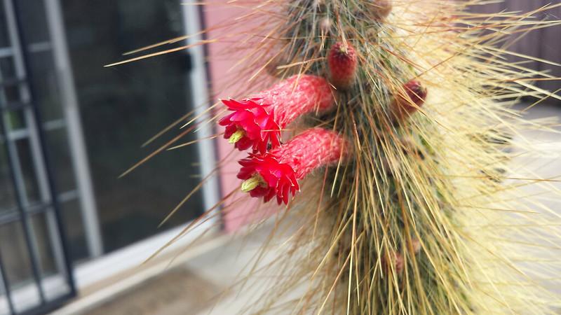 Cleistocactus tupizensis flowers.