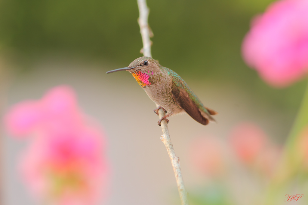 female Anna's Hummingbird 230215