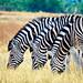 Zebras grazing by trg.photos